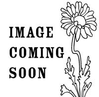 Salvia - Clary Sage 'Vatican White'