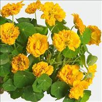 Nasturtium 'Darjeeling Gold'