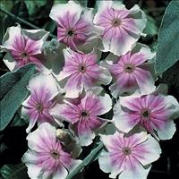 Rose Campion 'Angel's Blush'