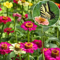 Zinnia 'Butterfly Mix'