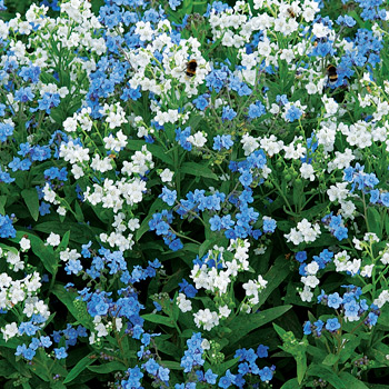 Chinese Forget Me Not 'Chill Out' Organic
