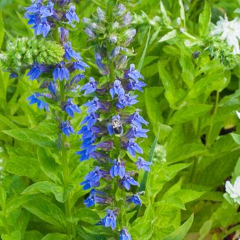 Lobelia - Great Blue Organic