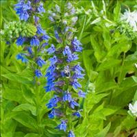 Lobelia - Great Blue Organic