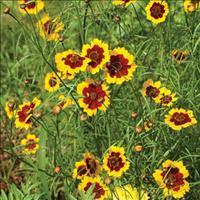 Coreopsis - Calliopsis Organic