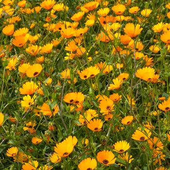 Calendula 'Persian' Organic