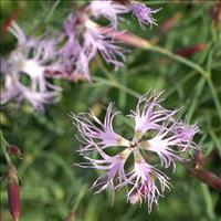 Pink - Fringed 'Ambrosia' Organic