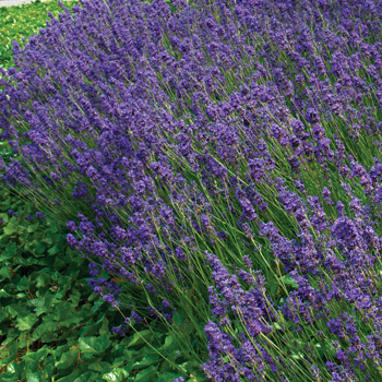 Lavender 'Hidcote Superior'