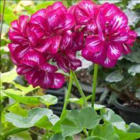 Geranium - Balcony Contessa™ 'Burgundy Bicolor'