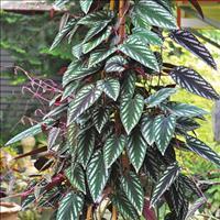 Rex Begonia Vine