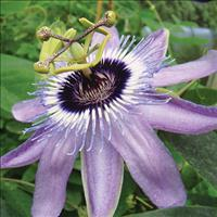 Passion Flower 'Betty Myles Young'