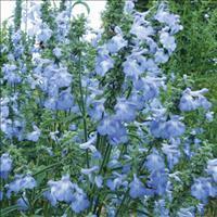 Salvia 'Blue September'
