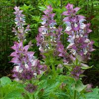 Salvia - Clary Sage 'Piemont'