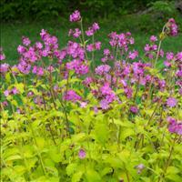 Silene 'Ray's Golden Campion'