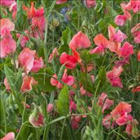 Sweet Pea 'Prince of Orange'
