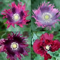 Poppy 'Heirloom Mix' Organic