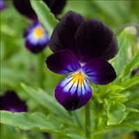 Viola 'Bowles Black' Organic