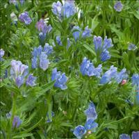 Echium - Blue