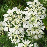 Orlaya 'White Lace' Organic