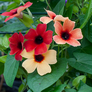 Black-eyed Susan Vine 'Arizona Dark Red'