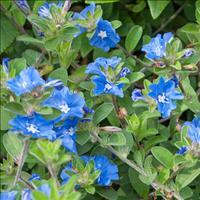 Evolvulus 'Blue Daze'