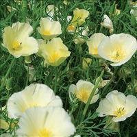 California Poppy 'Alba'