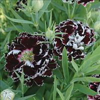 China Pink 'Black and White Minstrels'