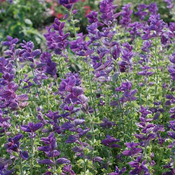 Salvia - Annual Clary 'Blue'