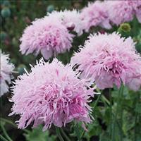 Poppy 'Lilac Pompom'