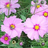 Cosmos 'Sensation Pinkie'