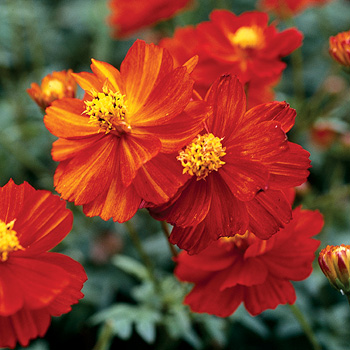 Cosmos 'Cosmic Red'
