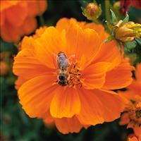 Cosmos 'Cosmic Orange'