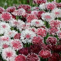 Cornflower 'Classic Romantic'