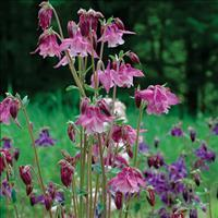 Columbine 'Grandmother's Garden'