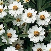 Zinnia 'White Star'