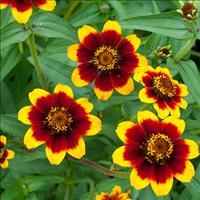Zinnia 'Chippendale'
