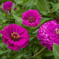 Zinnia 'Purple Prince'