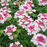 Verbena Lanai® 'Twister Pink'