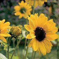 Sunflower 'Pan'
