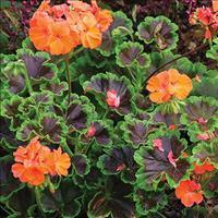 Geranium 'Black Velvet Scarlet'