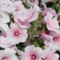 Lavatera 'Pink Blush'