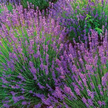 Lavender 'Violet Intrigue'
