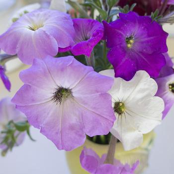 Petunia 'Old Fashioned Climbing'