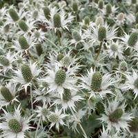 Sea Holly 'Miss Willmott's Ghost'