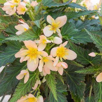 Begonia 'Unbelievable Lucky Strike'