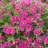 Calibrachoa StarShine™ 'Pink'