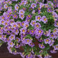 Calibrachoa StarShine™ 'Violet'