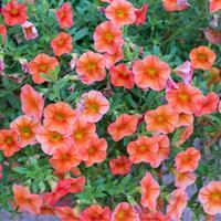 Calibrachoa Calitastic™ 'Pumpkin Spice'