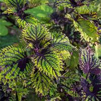 Coleus Under the Sea™ 'Fish Net'