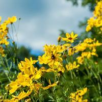 Coreopsis 'Gold Standard'