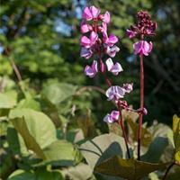 Hyacinth Bean 'Ruby Moon' Organic